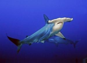 por-que-los-tiburones-martillos-tienen-tan-ancha-la-nariz-1