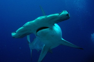 tiburon-martillo-aleta