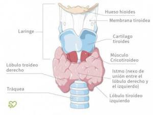 TIROIDES (3)
